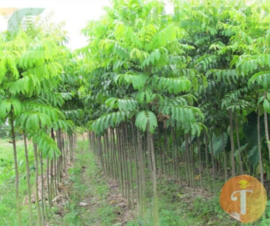 mua bán cây công trình đà Nẵng