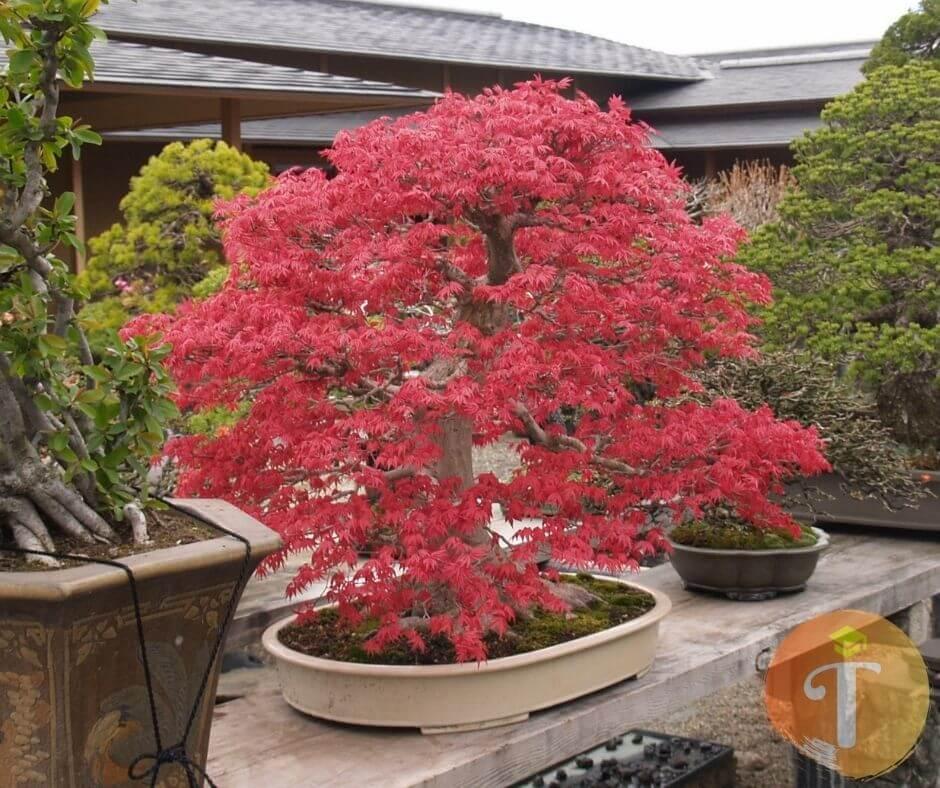 cây phong lá đỏ tại Đà Nẵng